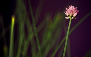 Chive Bloom by tienod