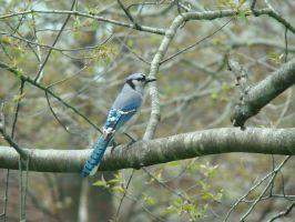 Blue Jay by BrutalityBob