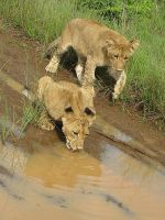 Lion cubs at puddle by ScurvySimon