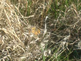 Orange Butterfly by jess13795
