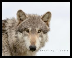 Eyes of the Wolf by tleach0608