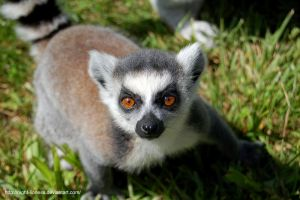 Curious young ring-tailed lemur. by Night-Lioness