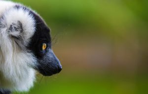 Lemur 8 by tpphotography