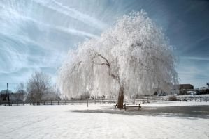 .: White Willow :. by Dave-Ellis