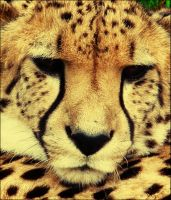 I does be a cheetah by ashlea88