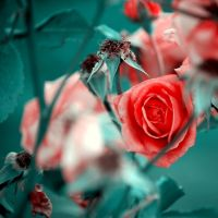 Red roses by Black-Saffy