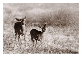 Deers with twitching ears by cedrus