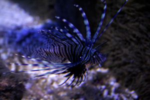 Lion Fish by Suckstobeyourgirl