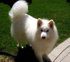 Samoyed Stand:Above by Dogstock