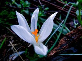 Crocus II by MadeleineAlana