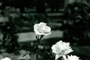 White Roses by LadyLadinea