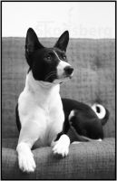 Trasan the Basenji by thetebe