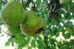 Pears and hornets by QuintinRWhite