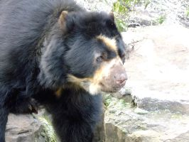 Spectacled Bear by ShimmiDragon