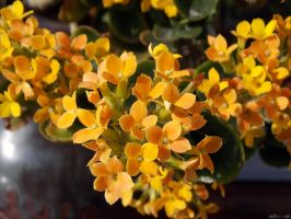 Cheerful Kalanchoe by CactusThorns