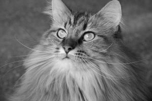 Black and White Maine Coon by VeronicaRosejones