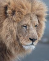 Lion 13 by Globaludodesign