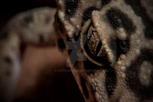Eye of the Leopard Gecko by cathy001
