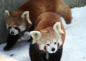 Red Pandas 1 by Vertor