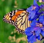 monarch butterfly by chrisravensar