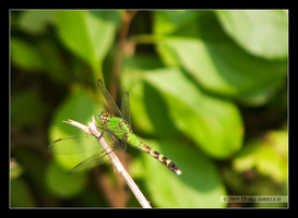 Summer Green Dragonfly by Mogrianne