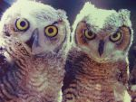 great horned owls by h20baby93