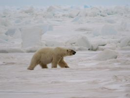 Big boar polar bear on the sea ice by Glacierman54