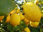 .:stock - lemon 3:. by guavon-stock
