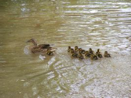 Duck Family by DCLeadboot