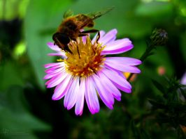 Hoverfly on Aster by DuchesseOfDusk