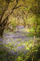 Bluebell Trail by waggysue