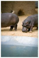 hippos by digimatte