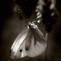Butterfly II by ThierryV