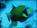 Triggerfish by caiophora-lateritia