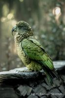 The Kea by MaxK-W