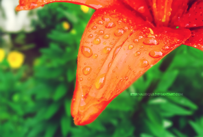 After the Rain: Pink Lily II by Eternalesque