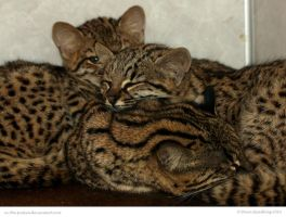 Geoffroys Kittens by In-the-picture