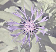 Visible/Infrared Flowers 4 by Okavanga