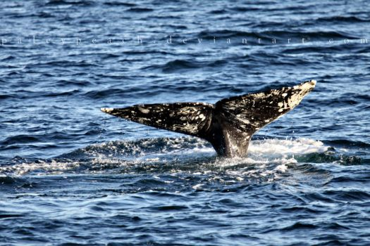 Gray whale fluke by paleypeach