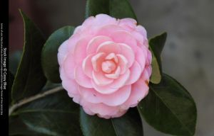 Camellia Stock by Cassy-Blue