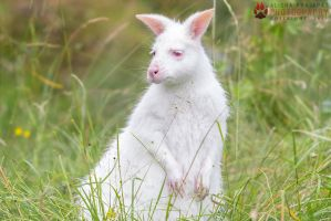 Albino Wallaby. by Ravenith