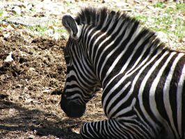 zebra by afyllian