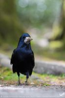 Rook by linneaphoto