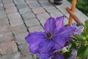 Clematis by Lufca