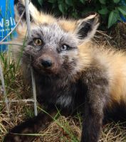 Cross Fox up close by Tricksters-Taxidermy