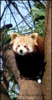 Red Panda by Tienna