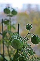 balcony tomatoes by weryvall