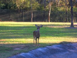 White-Tailed Deer Stock 02 by Vesperity
