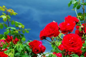 strom n roses. by blackTWINS