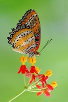 Batik Lacewing 090910 by inckurei